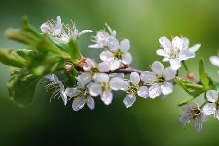blackthorn blossom prunus spinosa
