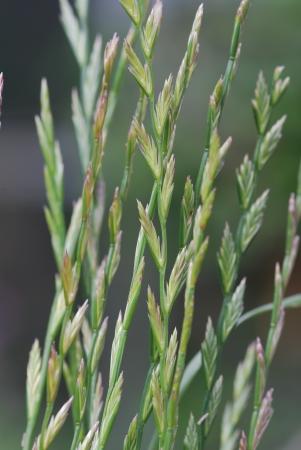 pasture grass,  ryegrass, Lolium perenne Stock Photo