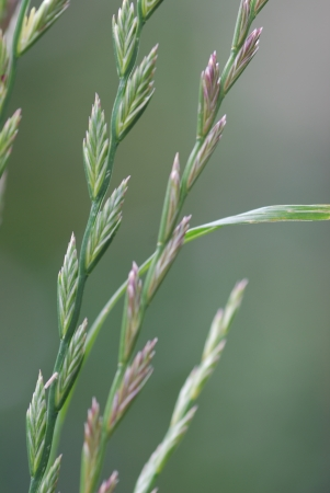 pasture grass,  ryegrass, Lolium perenne Stock Photo