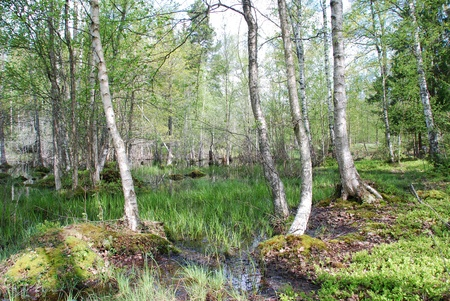 salmon migration: Smaland Sweden