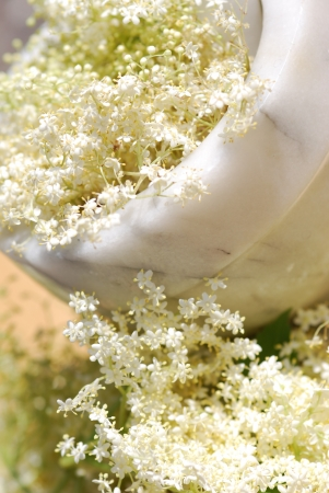 Elderflower medicinal Plants  photo