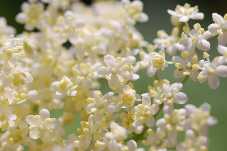 Elderflower medicinal Plants
