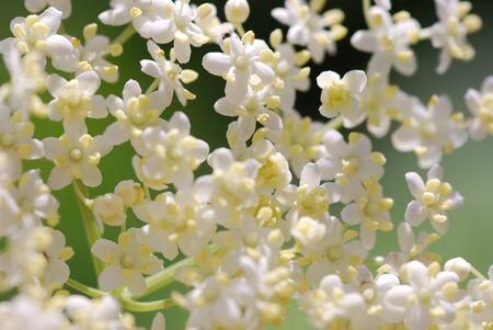 Elderflower medicinal Plants