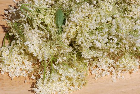 Elderflower allow to dry medicinal Plants  photo