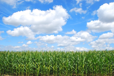 Organic corn farming Stock Photo
