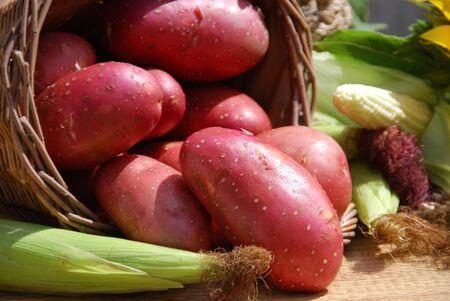 autumn motif: red organic potatoes