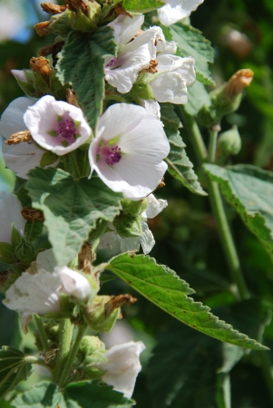 marshmallows:  Medicine plant Real marshmallow Althaea officinalis Stock Photo