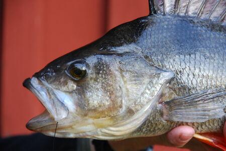 perca: perch Perca fluviatilis Stock Photo