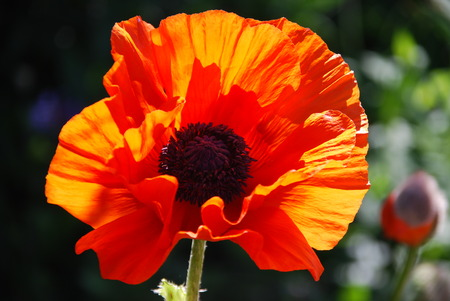 The great Turkish Papaver oriental in sunlight  photo