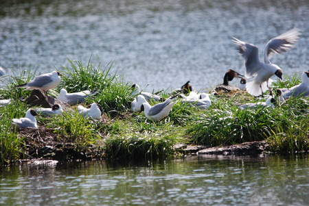 Blackheaded Gull colony on a small Iceland in Sweden photo