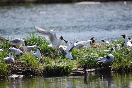 sweden resting: Blackheaded Gull colony on a small Iceland in Sweden Stock Photo