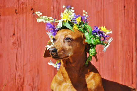 Dog with a traditional floral wreath to the Midsummer Festival in Sweden photo