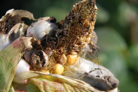 genetically modified crops: Corn smut, Ustilago maydis Stock Photo