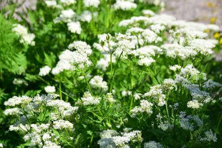 This Sweet Cicely (Myrrhis odorata), herbal medicine Myrrhis odorata, Flowers and leaves, Stock Photo