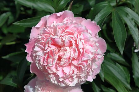 Peony. Peonies bloom in spring and are valued for beautiful bright flowers and lush foliage. Peonies have been known in the culture of mankind for over 2000 years. Peony (Latin: Pae?nia).