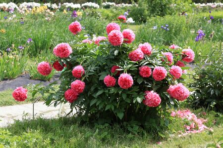Peonies. Peonies bloom in spring and are valued for beautiful bright flowers and lush foliage. Peonies have been known in the culture of mankind for over 2000 years. Peony (Latin: Pae?nia).