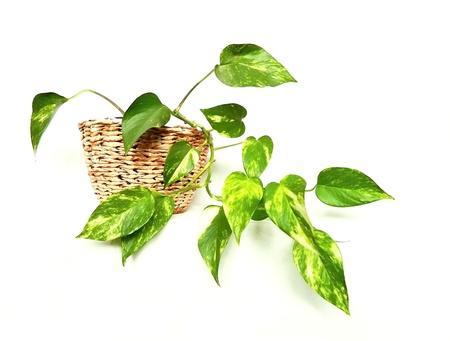 Epipremnum pinnatum Standard-Bild