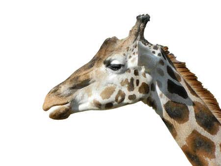 Giraffe portrait Stock Photo - 13431195