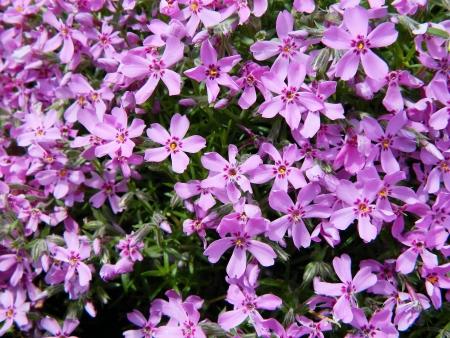 Beautiful pink flowers background Stock Photo - 13702265