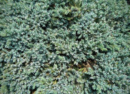 picea: Silver Spruce - background