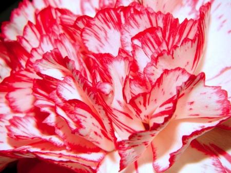 Beautiful carnation petals macro photo
