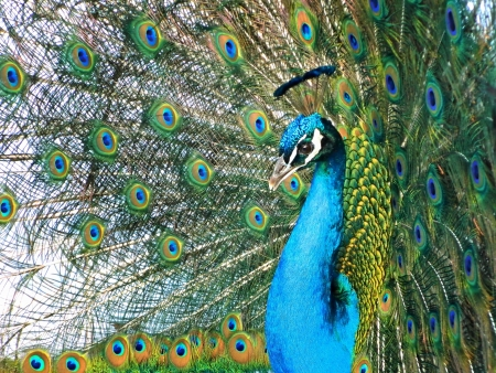 Portrait of peacock with feathers out Standard-Bild