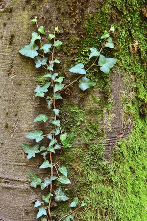 Ivy creeping up the tree trunk