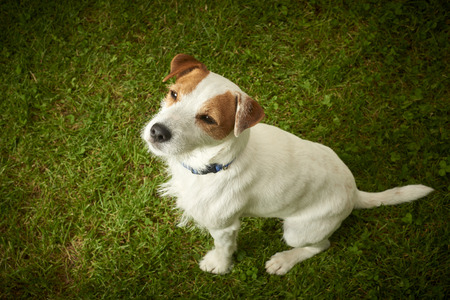 small dog: Parson Jack Russell Terrier dog sitting on lawn grass looking up