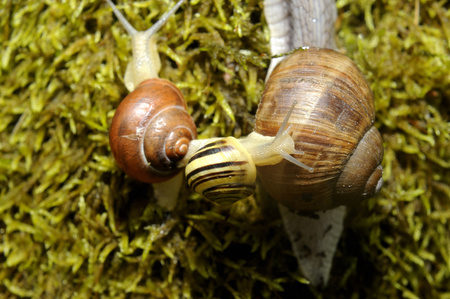 Three Snails crawling on the moss in forest Stock Photo