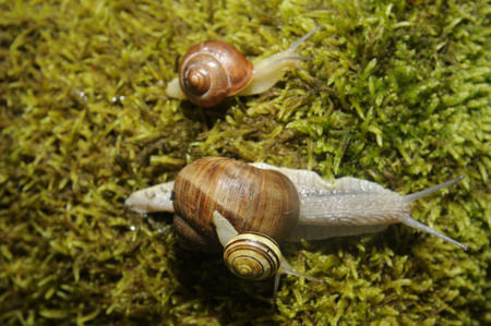 novel: Three Snails crawling on the moss in forest Stock Photo