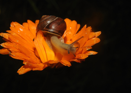 mn: Snail close up on Flower moving along Stock Photo