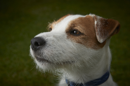 mn: Portrait of Parson Jack Russell Terrier pet dog Stock Photo