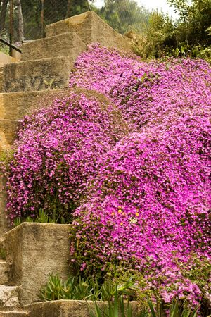 Purpule flowers on a stone stairs