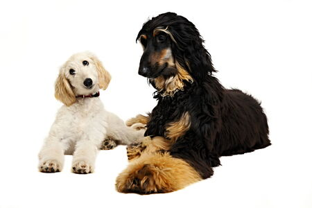 Cute puppy of afghan hound with afghan hound photo
