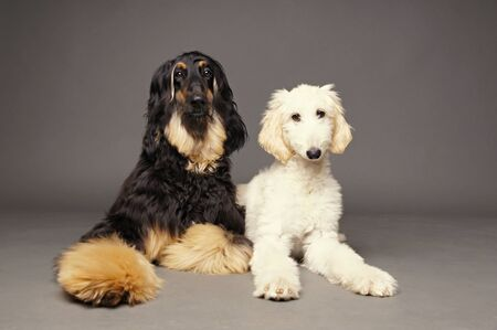 afghan: Afghan hound with puppy of afghan hound on gray background Stock Photo