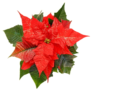 Beauty red poinsettia flower with glitter on leafs, right you can write some text