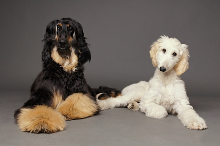 afghan: Cute afghan hound with puppy of afghan hound on gray background Stock Photo