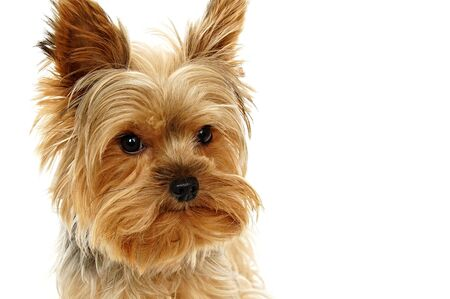 Portrait of little Yorkie puppy dog, right you can write some text Stock Photo