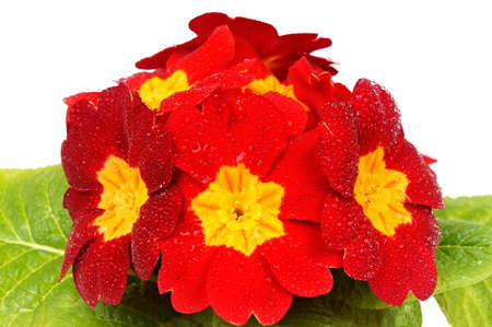 Beauty red primula flower with drops of water close up Standard-Bild