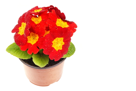 Beauty red primula flower in a pot, right you can write some text Standard-Bild