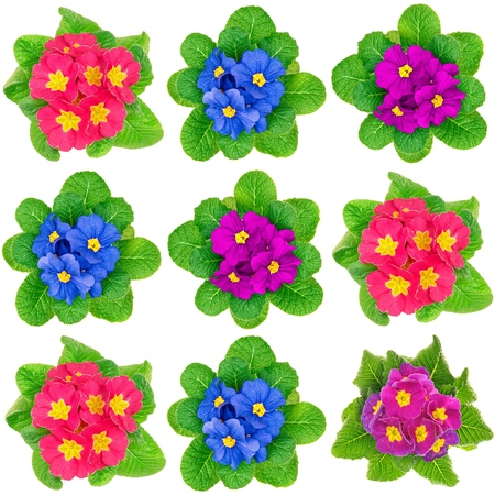 Photo mosaic of beauty fresh spring primula flower