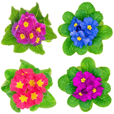 Photo mosaic with beauty spring primula flower
