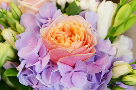 Beautiful rose close-up with blue hydrangea