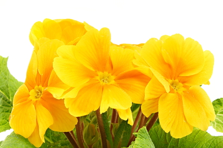 Beautiful yellow primula flower with a drops of water close-up