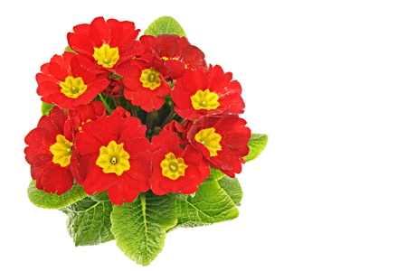 Beautiful fresh red primula flower with drops of water on white background, right you can write some text. Standard-Bild