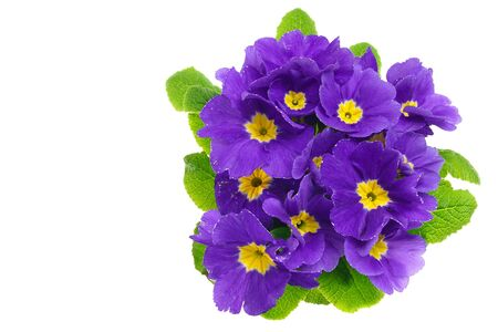Beautiful fresh blue primula flower with drops of water on white background, you can write some text.