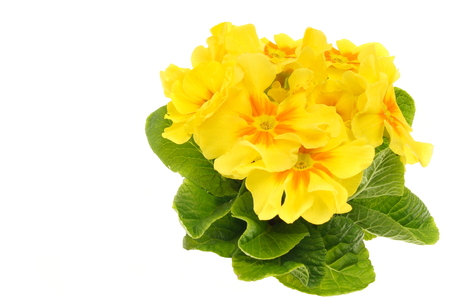 Beautiful fresh yellow primula flower on white background, you can write some text.