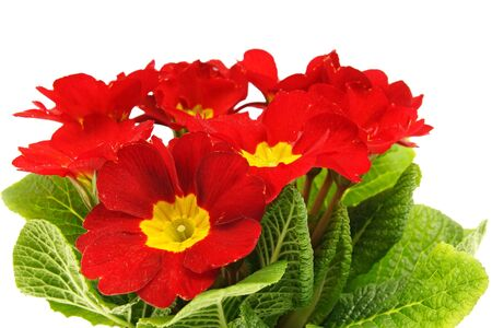 Beautiful red primula flower with a drops of water close-up