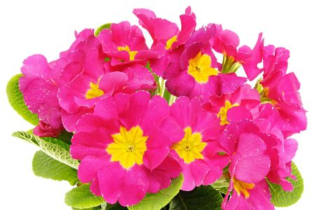 Beautiful pink primula flower with a drops of water close-up