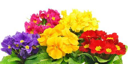 Schöne Primula Blumen auf weißem Hintergrund Standard-Bild - 85083731